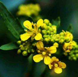 Erisimo: proprietà e utilizzi dell'erba dei cantanti