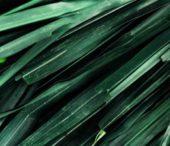 Vetiver olio essenziale: benefici e proprietà